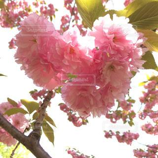 花,春,桜,ピンク,ハート,八重桜