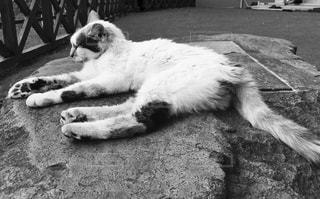 老猫。の写真・画像素材[821176]