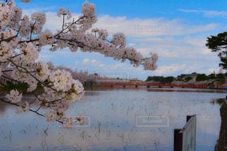 桜,橋,高田公園,新潟県,上越市