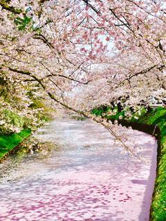弘前公園 花筏の写真・画像素材[1032104]