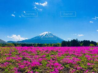 近くに富士山を背景に花畑のアップの写真・画像素材[1404506]