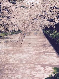 春,桜,ピンク,弘前公園,ピンク色,花筏,ぴんく