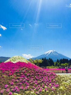 桜,富士山,花見,観光,芝桜,山梨,GW