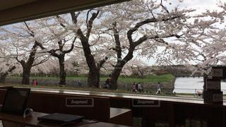 桜,花見,六花亭,函館,GW