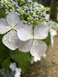 花,雨,屋外,植物,水滴,紫陽花,雫,滴