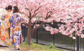 女性,友だち,2人,花,春,桜,木,後ろ姿,サクラ,樹木,お花見,着物,人,イベント,さくら,ブロッサム