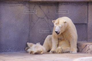 動物園のエンクロージャのシロクマの写真・画像素材[707477]