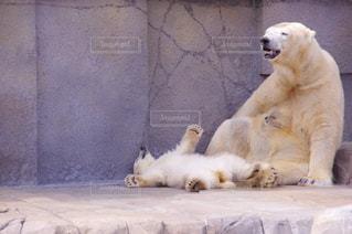 動物園の展示場にシロクマの写真・画像素材[707483]