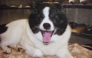 カメラを見て茶色と白犬の写真・画像素材[977927]