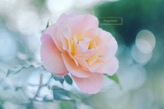ピンクの薔薇の写真・画像素材[1441506]