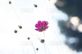 花,秋,屋外,ピンク,コスモス,札幌,秋桜