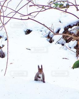 自然,冬,動物,雪,屋外,白,北海道,リス,ホワイト,エゾリス,円山公園,ホワイトカラー
