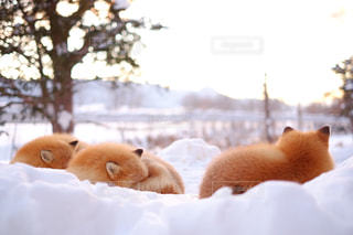 雪の中で横になっているキタキツネの写真・画像素材[1732192]