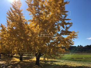 自然,空,秋,屋外,イチョウ並木