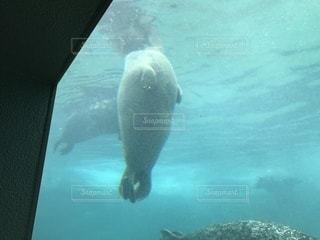 ホッキョクグマは水で泳いでください。の写真・画像素材[1799335]
