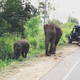 空,動物,屋外,緑,草原,親子,道路,旅,象,地面,サファリ,スリランカ,ジープ