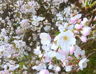 春の写真・画像素材[427729]