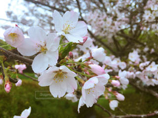 春の写真・画像素材[427774]