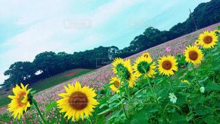 フィールド内の黄色の花 - No.768876