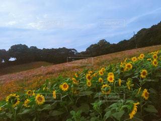 フィールド内の黄色の花 - No.858919