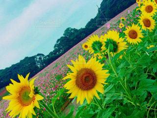 黄色の花 - No.864954