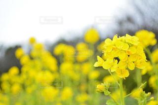 自然,公園,花,春,カメラ,花畑,屋外,京都,撮影,鮮やか,写真,イエロー,黄,ライフスタイル,撮る,京都梅小路公園,聞いて