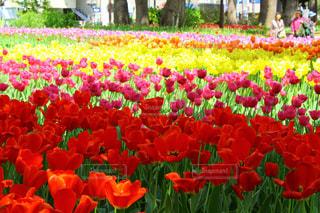花,花畑,屋外,赤,白,かわいい,黄色,チューリップ,鮮やか,オレンジ,観光,横浜,人気,フォトジェニック,横浜公園