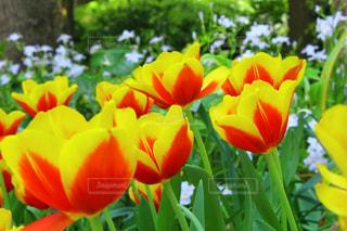 花,花畑,赤,かわいい,黄色,チューリップ,鮮やか,観光,横浜,人気,フォトジェニック,横浜公園