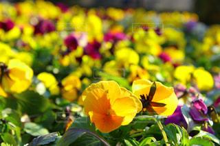 花,花畑,東京,赤,かわいい,黄色,鮮やか,観光,新宿,パンジー,新宿御苑,人気,フォトジェニック