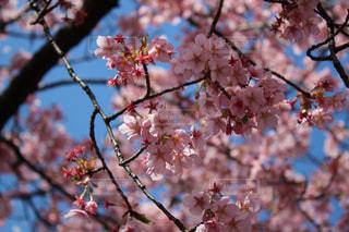 花,桜,屋外,東京,かわいい,青空,鮮やか,観光,新宿,新宿御苑,人気,さくら,フォトジェニック