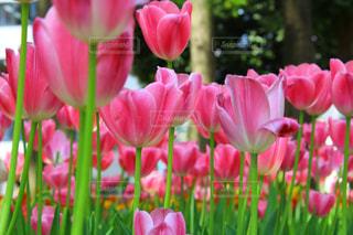 花,花畑,かわいい,チューリップ,鮮やか,観光,横浜,人気,フォトジェニック,横浜公園