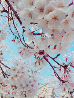 #桜,#春,#ピンク,#さくら,#卒業,#卒業式,#旅立ち,#新たなスタート