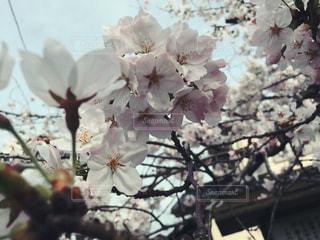 #桜,#春,#新生活,#さくら,#別れ,#出会い,#スタート,#卒業,#卒業式,#旅立ち