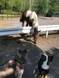 茶色と白犬のフェンスの前で馬の上に座っての写真・画像素材[1205121]