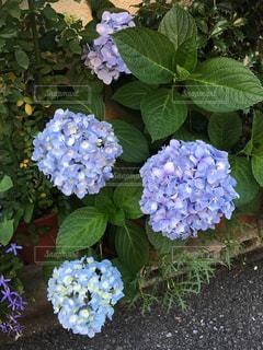 青,紫,紫陽花