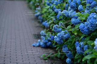 こぼれるほどに咲いた紫陽花の写真・画像素材[3356409]