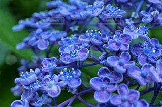 紫陽花クローズアップの写真・画像素材[3356948]