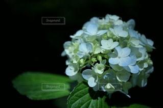 紫陽花のクローズアップの写真・画像素材[3356945]