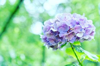 紫陽花のクローズアップの写真・画像素材[3375887]