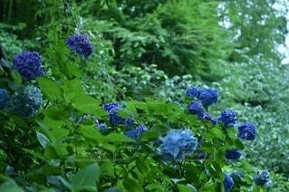 紫陽花 明月院にての写真・画像素材[3389536]