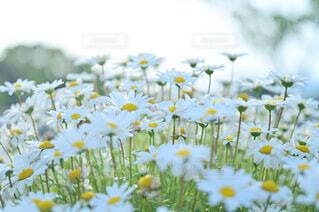 風に揺らぐ白いお花の写真・画像素材[4388175]