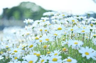 風に揺らぐ白いお花の写真・画像素材[4388183]