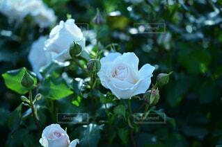 薔薇のガーデンフォトの写真・画像素材[4388185]