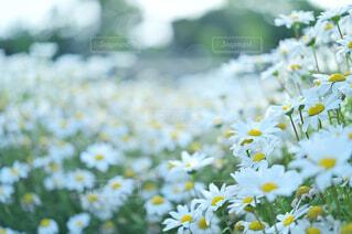 風に揺らぐ白いお花の写真・画像素材[4388206]