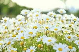 風に揺らぐ白いお花の写真・画像素材[4388220]