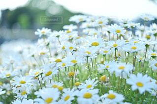風に揺らぐ白いお花の写真・画像素材[4388222]