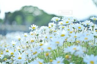 風に揺らぐ白いお花の写真・画像素材[4388224]