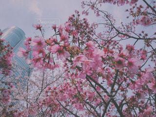 桜 - No.412983