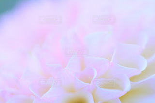 ダリアの花びらの写真・画像素材[1435512]