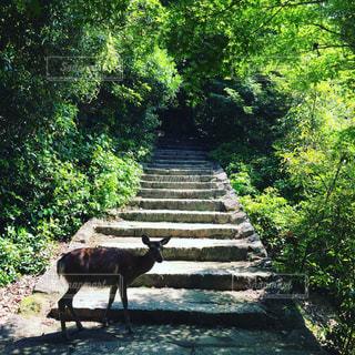 緑豊かな緑の森を歩いて牛の写真・画像素材[766033]